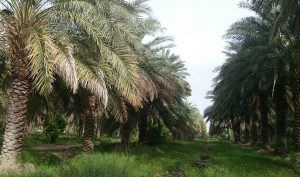 خرما بوشهر